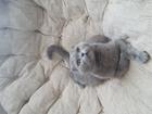 Уникальное изображение Вязка кошек Ищем кота британского , можно без документов, 63237868 в Красноярске