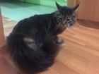Скачать бесплатно foto Вязка кошек Найден кот породы мейн-кут 67790137 в Красноярске