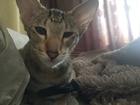 Увидеть фотографию Вязка кошек Срочно ищем ориентального котика! 69204506 в Красноярске