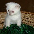 Вислоухий поинтовый котик плюшевый животик