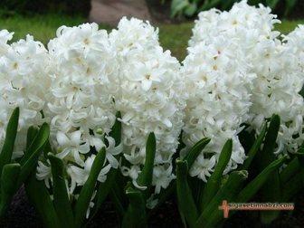 Увидеть фото  Гиацинт цветок от 1 шт, 34393007 в Красноярске