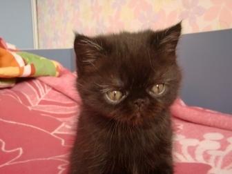 Смотреть foto Другие животные продам котенка экзота 35587095 в Красноярске