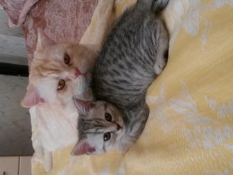 Смотреть фотографию Отдам даром - приму в дар Шотландец котик 38716612 в Красноярске