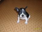 Фотография в Собаки и щенки Продажа собак, щенков чёрно-белый окрас, один месяц в Краснокаменске 7000