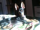 Фото в Собаки и щенки Вязка собак Умный, красивый мальчик (развязан) ищет девочку в Краснотурьинске 5000