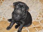 Скачать изображение  Продается щенок мопса 32515762 в Кропоткине