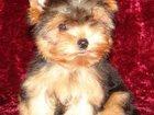 Фотография в Собаки и щенки Продажа собак, щенков Щенок Йоркширского терьера - мальчик, с отличной в Кургане 25000