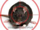 Изображение в   Уничтожение крыс и мышей в квартирах, подвалах, в Москве 1500