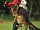 Изображение в   Дрессировка собак Видное Домодедово Подольск в Видном 500