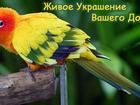 Новое изображение  Яркий Попугайчик из питомника 34558360 в Обнинске