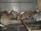 Уникальное foto Грызуны Продаю кроликов 35851316 в Кургане