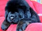 Фото в   Питомник предлагает от проверенных собак в Яхроме 0