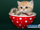 Увидеть foto  SSD - Питомник шотландских вислоухих котят - SCARLET SWEET DREAM - продажа котят , 38746545 в Москве