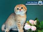 Уникальное фото  «SSD» - Продажа котят в московском питомнике шотландских кошек , 39755080 в Москве