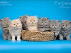 Просмотреть foto  Котята британской породы длинношерстные 43486934 в Москве