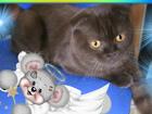 Новое фотографию Вязка кошек Молодой Шотландский котик ждет подружку,г, Курган 53821519 в Кургане