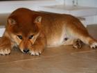 Просмотреть фотографию  Сиба,шиба ину,акита ину,японская собака 69327761 в Кургане