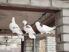 Уникальное фотографию Птички Продам бакинских бойных голубей, 36868859 в Курске