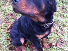 Изображение в Собаки и щенки Вязка собак предлагается кобель для вязки   2, 5 года в Курске 0