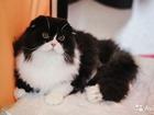 Фото в Кошки и котята Вязка Хайленд Фолд ждет прямоухих невест на вязку. в Курске 1000