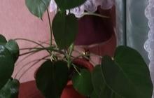 Продам цветок