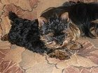 Изображение в   Красивые щенки йорка из питомника Мари Бижу, в Лесном 35000