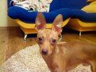 Фотография в Собаки и щенки Вязка собак Очень хотим связать своего мальчика, просто в Липецке 0