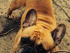 Фото в Собаки и щенки Вязка собак Кобель 6 лет, красного окраса, носитель красного в Липецке 0