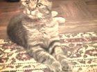 Фото в Кошки и котята Вязка Вислоухий скрещенный британский с шотландским в Липецке 0