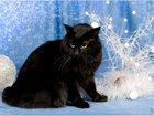 Изображение в Кошки и котята Вязка Порода: Курильский бобтейл  Шикарный , опытный в Липецке 0