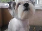 Свежее изображение  стрижка собак 39241877 в Липецке