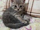 Котенок Скотиш-страйк