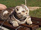 Foto в Кошки и котята Вязка Шотландский вислоухий котик ищет невесту в Люберцы 1500