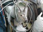 Скачать бесплатно изображение Охота Продам Чучело Косули(козла) 32569024 в Магнитогорске