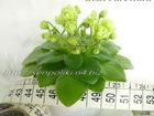 Увидеть foto Растения Коллекционные фиалки 34332093 в Магнитогорске