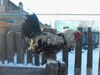 Просмотреть фото  Продам молодого петуха или обменяю на кур несушек 34350921 в Энгельсе