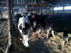 Фото в Прочее,  разное Разное Реализуем коров черно пестрой породы, в кол-ве в Магнитогорске 0