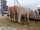 Свежее изображение Другие животные Реализуем бычков породы симментал 69456057 в Магнитогорске