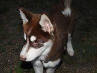 Пропала собака, Сибирский Хаски Пропала собака, Сибирский Хаски, отвлекается на