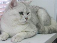 Кот вязка серебритстая шиншилла Британский кот окрас серебристая шиншилла приглашает на вязку котик привит по возрасту опыт имеет с хорошими данными т, Магнитогорск - Вязка кошек (случка)