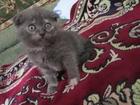 Фото в Кошки и котята Продажа кошек и котят Продается котенок Британский вислоухий, год в Махачкале 7000