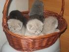 Изображение в Кошки и котята Продажа кошек и котят красивые породные котята шотландские вислоухие в Минске 0