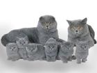 Фото в Кошки и котята Продажа кошек и котят Продаются шотландские котята мальчики и девочки в Минске 2300000