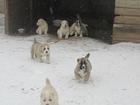Фотки и картинки Среднеазиатская овчарка смотреть в Минске