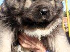 Изображение в Прочее,  разное Разное Кавказской овчарки щенков, мальчики серого в Москве 0