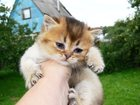 Скачать бесплатно foto Другие животные Золотая тиккированная плюшечка 33087351 в Москве