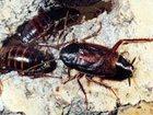 Изображение в Красота и здоровье Разное Травля (выведение) тараканов, постельных в Москве 1500
