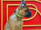 Фото в Собаки и щенки Продажа собак, щенков Профессиональный племенной питомник кане в Москве 0