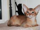 Уникальное фотографию Разное Абиссинские котята,американские линии 34759685 в Москве