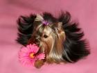 Смотреть изображение Вязка собак 2 кобеля -йоркширские терьеры для вязки, Инструктор, 34891030 в Москве